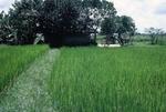 Rice paddy by Cayetano E. Barrera