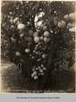 Photograph of oldest 40 acre orchard in the Rio Grande Valley