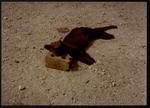 87 Dead Jaguarundi