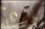 11 Black-crowned Night Heron