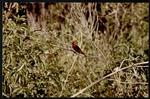 12 Scarlet Tanager