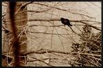 13 Red-wing Blackbird