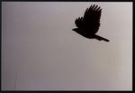 30 Large bird