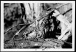 32 Eastern Screech-Owl