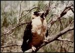 06 Northern Aplomado Falcon