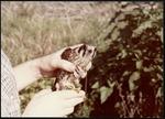 07 American Kestrel