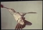 09 Buff-Bellied Hummingbird